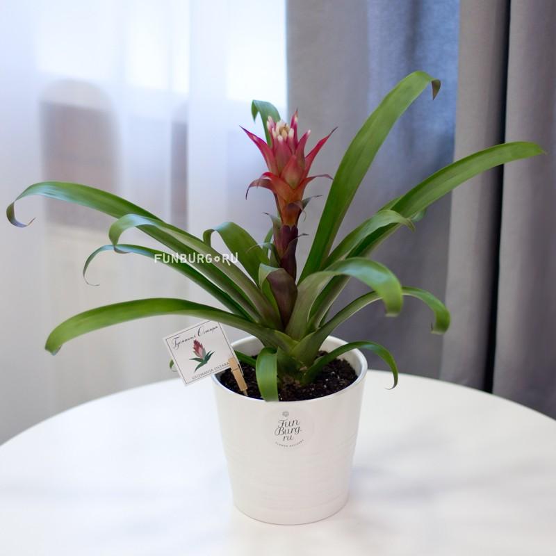 Горшечное растение «Гузмания»