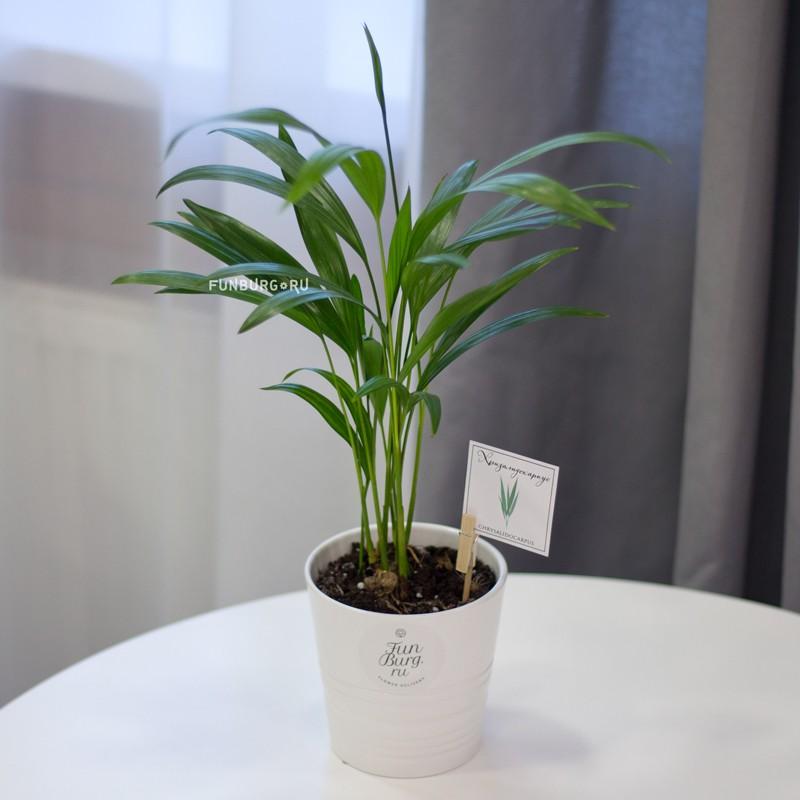 Горшечное растение «Хризалидокарпус» фото