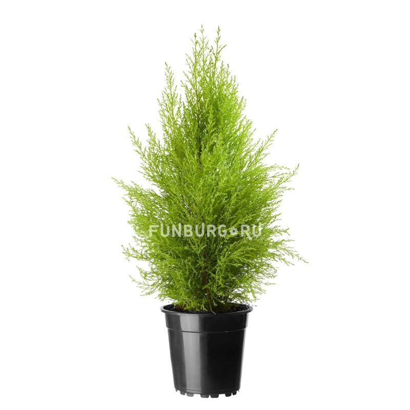 Горшечное растение «Кипарис»Нецветущие растения<br> <br>Размеры:<br><br><br>Диаметр горшка 13 смВысота растения с горшком 30-40 см<br><br>
