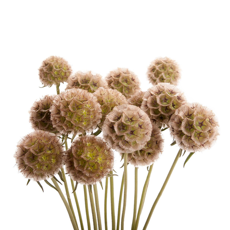 Скабиоза (сухоцвет) фото