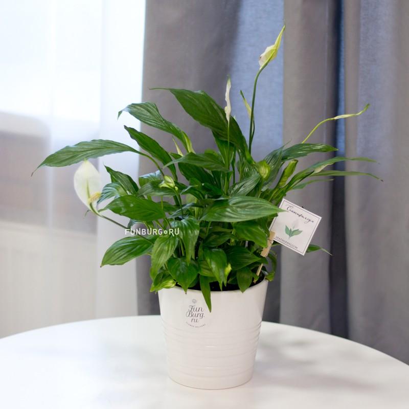 Горшечное растение «Спатифиллум» фото