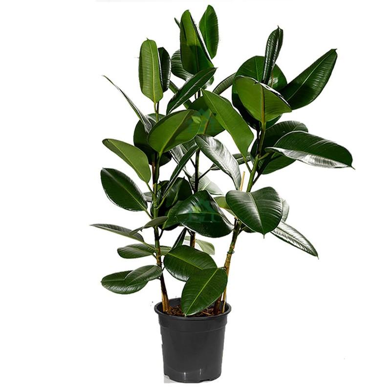 Горшечное растение «Фикус Эластика» 120см фото