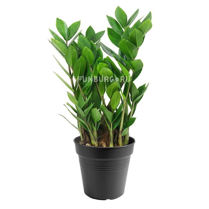 Горшечное растение «Замиокулькас» 80см фото