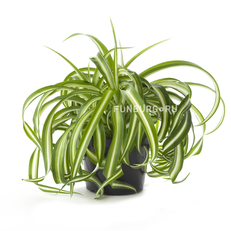 Горшечное растение «Хлорофитум»Нецветущие растения<br> <br>Размеры:<br><br><br>Диаметр горшка 12-14 смВысота растения с горшком 20-25 см<br><br>