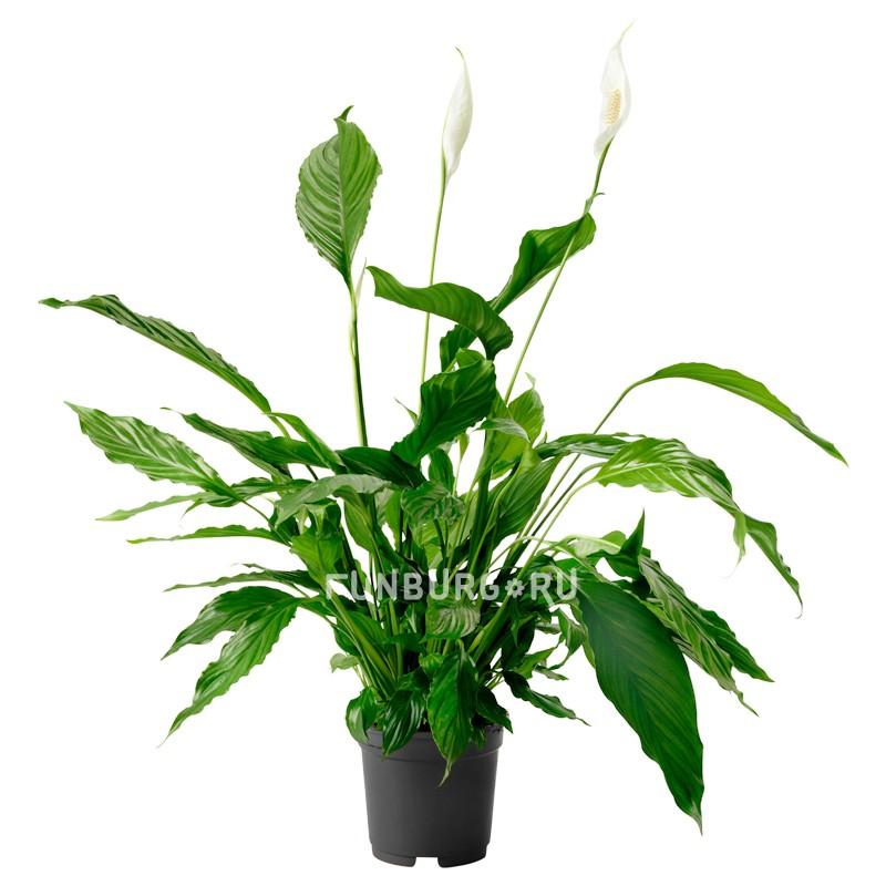 Горшечное растение «Спатифиллум» 100 см фото