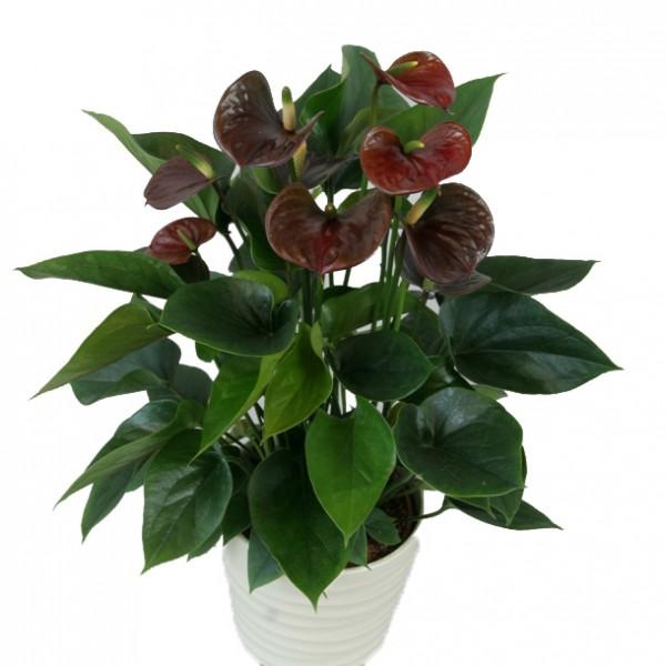 Горшечное растение Антуриум (шоколадный) фото