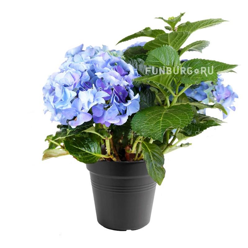 Горшечное растение «Гортензия»Цветущие растения<br> <br>Размеры:<br><br><br>Диаметр горшка 12 смВысота растения с горшком 28 см<br><br>