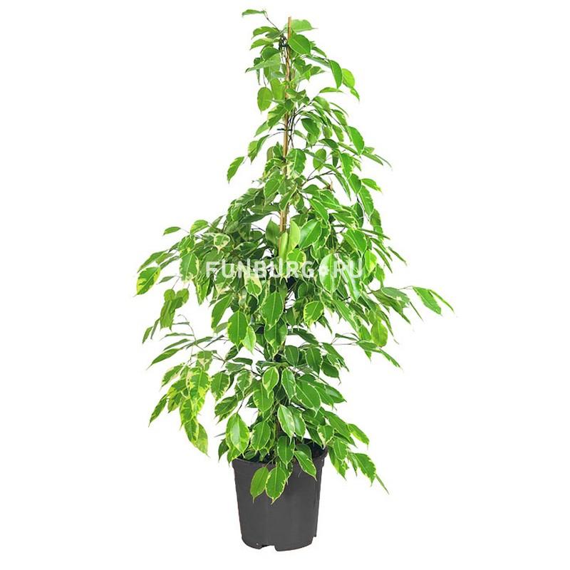 Горшечное растение «Фикус» 100смКрупные растения<br> <br>Размеры:<br><br><br>Диаметр горшка 21 смВысота растения с горшком 100 см<br><br>