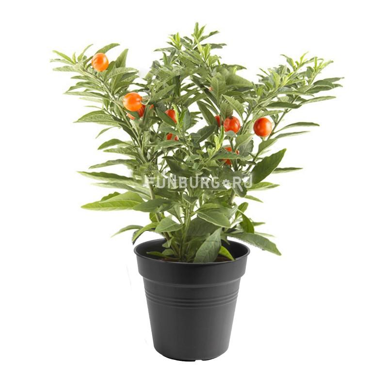 Горшечное растение «Паслен»Цветущие растения<br> <br>Размеры:<br><br><br>Диаметр горшка 12 смВысота растения с горшком 28 см<br><br>