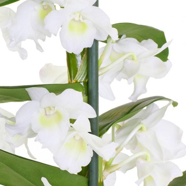 Орхидея дендробиум<br>
