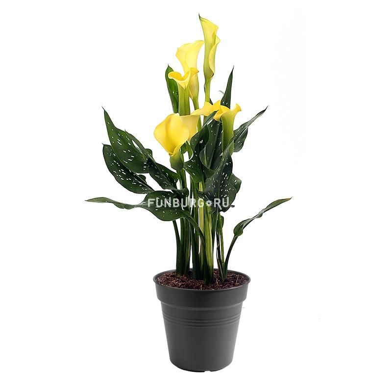 Горшечное растение «Калла (микс)»Цветущие растения<br> <br>Размеры:<br><br><br>Диаметр горшка 12 смВысота растения с горшком 30 см<br><br>