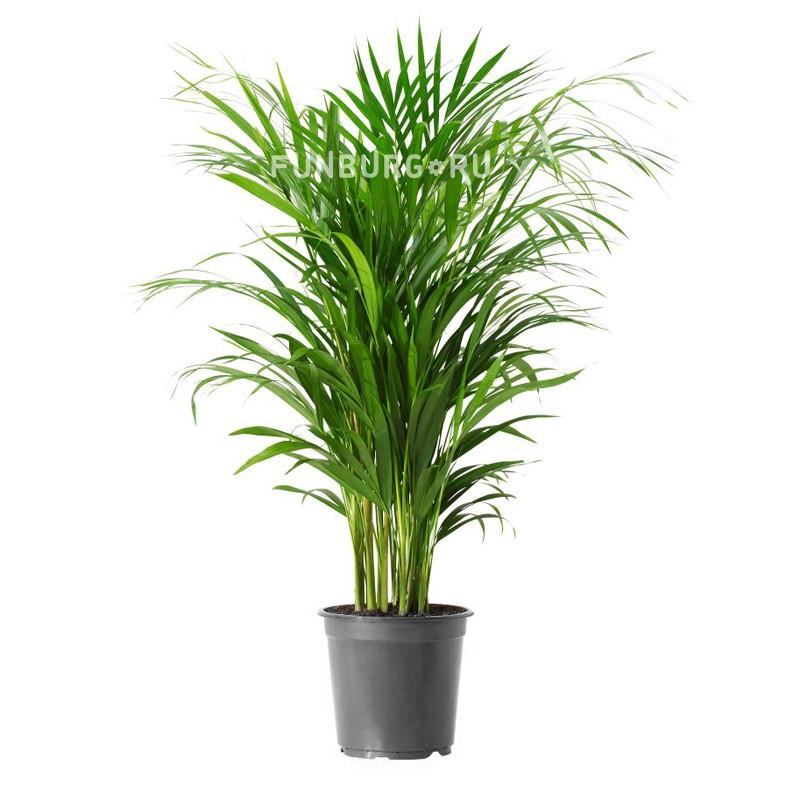 Горшечное растение «Хризалидокарпус» 90смКрупные растения<br> <br>Размеры:<br><br><br>Диаметр горшка 19 смВысота растения с горшком 90 см<br><br>