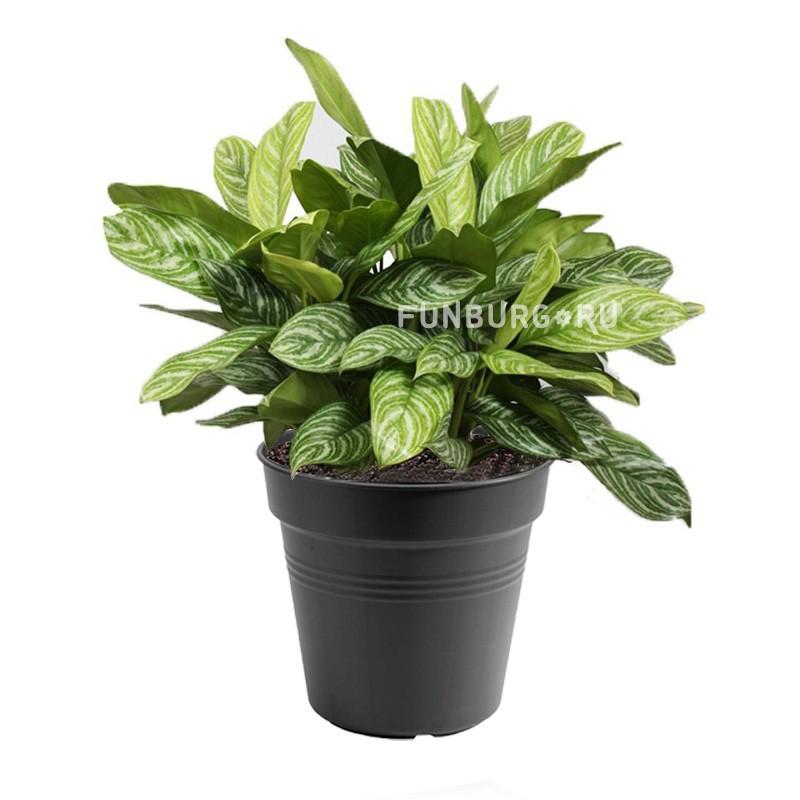 Горшечное растение «Аглаонема»Нецветущие растения<br> <br>Размеры:<br><br><br>Диаметр горшка 12 смВысота растения с горшком 30 см<br><br>