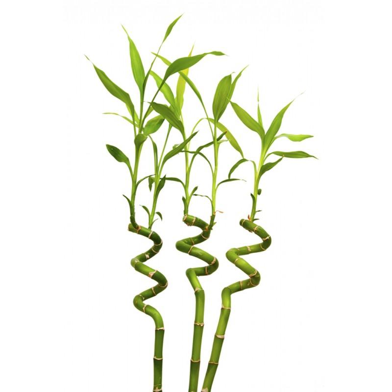 Бамбук<br>