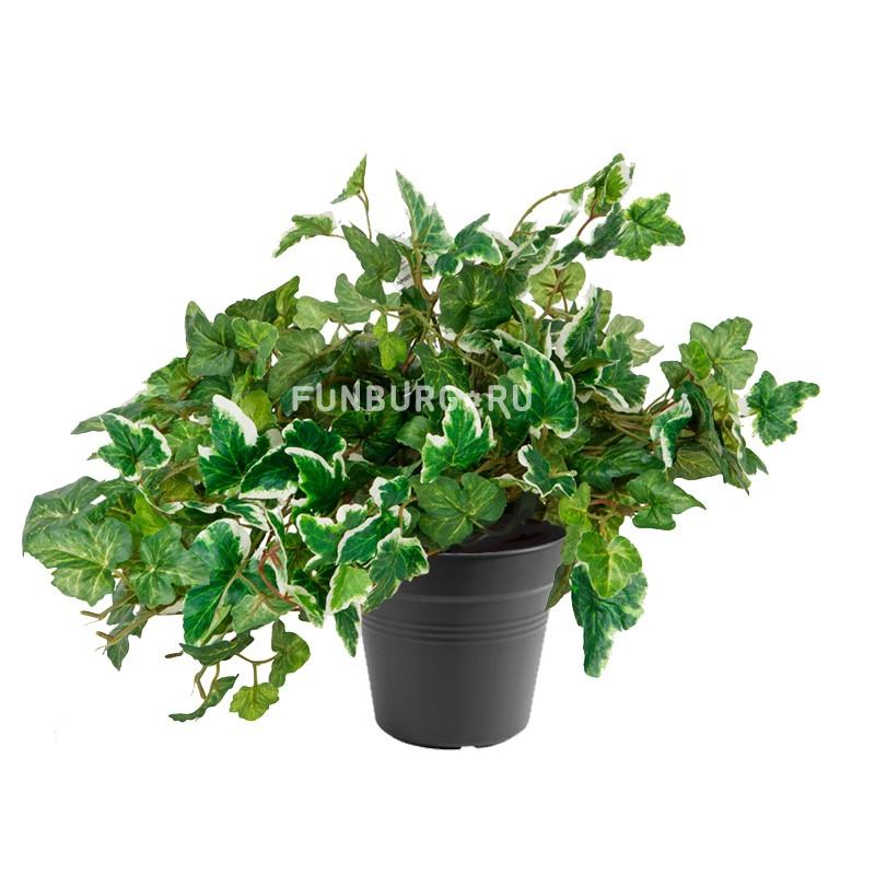 Горшечное растение «Хедера»Нецветущие растения<br> <br>Размеры:<br><br><br>Диаметр горшка 12 см Высота растения с горшком 25 см<br><br>