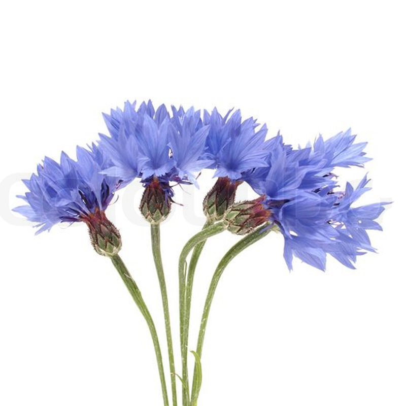 Василек<br>Васильки - сезонные цветы, поэтому они не всегда бывают в наличии!<br> Сезон у этих цветов длится с июня до конца лета. Цену и наличие вы всегда можете уточнить у наших флористов по телефону (343) 204-94-64.<br><br>