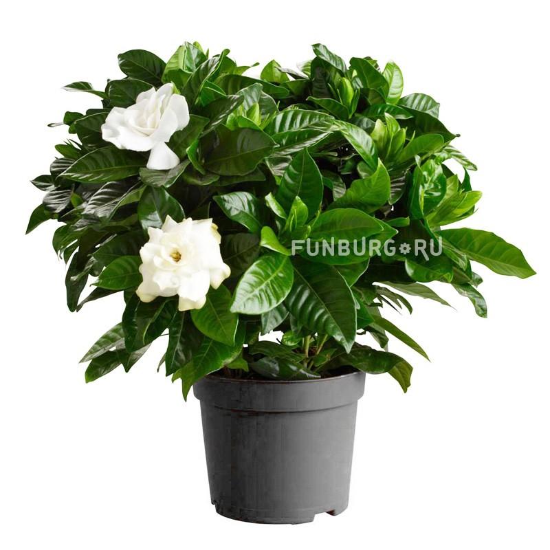 Горшечное растение «Гардения»Цветущие растения<br> <br>Размеры:<br><br><br>Диаметр горшка 12 смВысота растения с горшком 28 см<br><br>