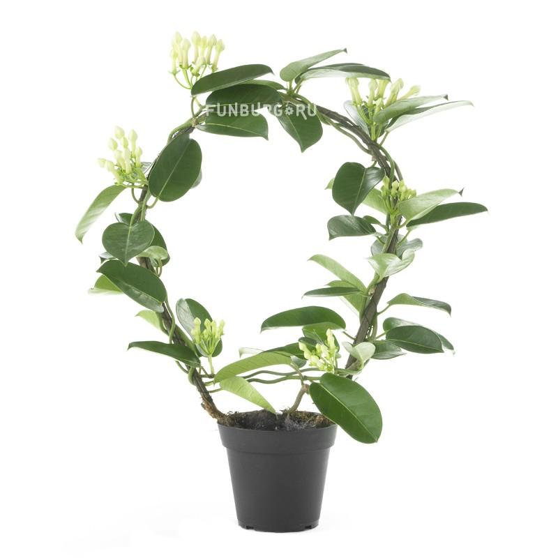 Горшечное растение «Стефанотис»Цветущие растения<br> <br>Размеры:<br><br><br>Диаметр горшка 12 смВысота растения с горшком 40 см<br><br>