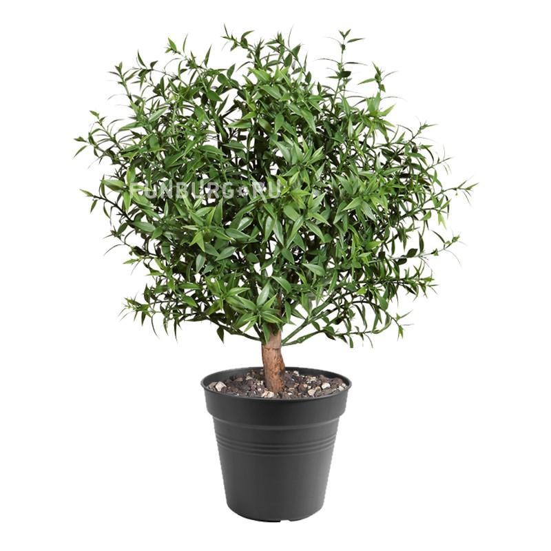 Горшечное растение «Мирт»Нецветущие растения<br> <br>Размеры:<br><br><br>Диаметр горшка 12 см Высота растения с горшком 30 см<br><br>