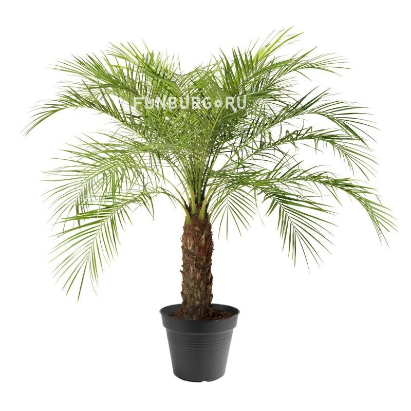 Горшечное растение «Финик Робелини»Крупные растения<br> <br>Размеры:<br><br><br>Диаметр горшка 21 смВысота растения с горшком 90 см<br><br>