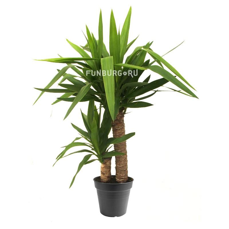 Горшечное растение «Юкка» (2 ствола)Крупные растения<br> <br>Размеры:<br><br><br>Диаметр горшка 21 смВысота растения с горшком 95 см<br><br>